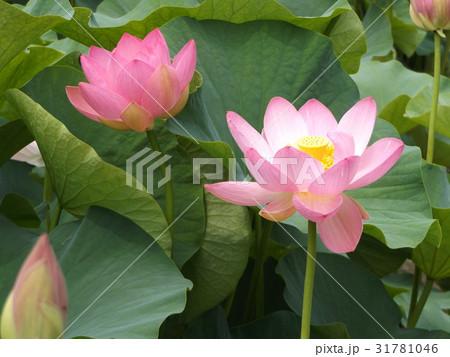 千葉公園のオオガハスの桃色の花 31781046