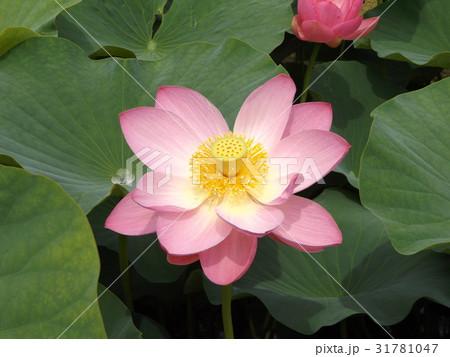 千葉公園のオオガハスの桃色の花 31781047
