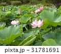 千葉公園のオオガハスの桃色の花 31781691