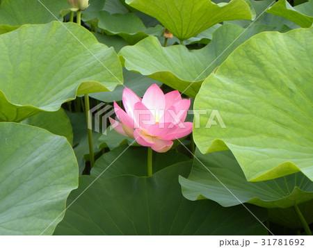 千葉公園のオオガハスの桃色の花 31781692