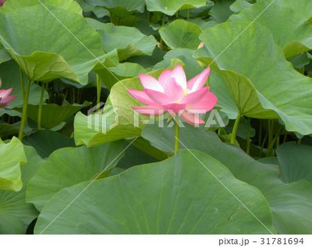 千葉公園のオオガハスの桃色の花 31781694