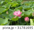 千葉公園のオオガハスの桃色の花 31781695