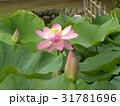 千葉公園のオオガハスの桃色の花 31781696