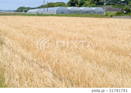 糸島の麦畑 二条大麦 31781791