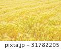 麦畑 穀物 植物の写真 31782205