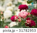 ピンクのバラ 31782953
