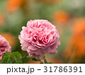 バラ 薔薇 ばらの写真 31786391