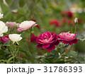 バラ 薔薇 ばらの写真 31786393
