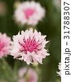 ヤグルマギク 花 矢車菊の写真 31788307