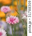 ヤグルマギク 花 春の写真 31788309