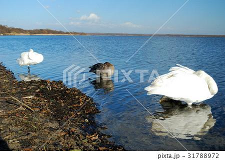 青天のウトナイ湖からの眺めとコハクチョウの休息 31788972