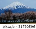 Mt.Fuji & Sakura 31790596