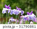 ハナショウブ 花菖蒲 花の写真 31790861