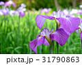 ハナショウブ 花菖蒲 花の写真 31790863