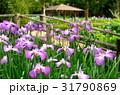 ハナショウブ 花菖蒲 花の写真 31790869