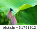 蓮の蕾とシオカラトンボ 31791912