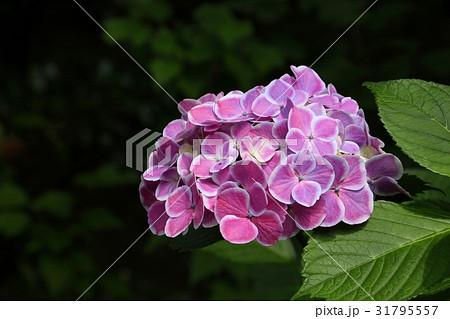 花博記念公園鶴見緑地の紫陽花  31795557