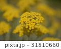 花 植物 黄色の写真 31810660