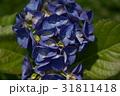 アジサイ 紫陽花 花の写真 31811418