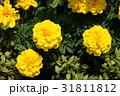 マリーゴールド 黄色 花の写真 31811812