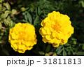 マリーゴールド 黄色 花の写真 31811813