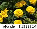 マリーゴールド 黄色 花の写真 31811816