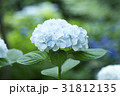 アジサイ あじさい 紫陽花の写真 31812135