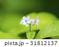 アジサイ あじさい 紫陽花の写真 31812137