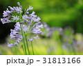 ムラサキクンシラン アガパンサス 花の写真 31813166