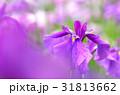 ハナショウブ 花菖蒲 花の写真 31813662