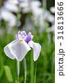 ハナショウブ 花菖蒲 花の写真 31813666