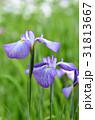 ハナショウブ 花菖蒲 花の写真 31813667