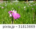 ハナショウブ 花菖蒲 花の写真 31813669