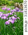 ハナショウブ 花菖蒲 花の写真 31813670