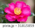 椿 花 植物の写真 31815859
