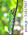 蝶 クロアゲハ 幼虫の写真 31817607