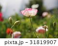 シャーレーポピー ポピー 花の写真 31819907