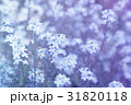 forget-me-not (Myosotis) flowers background 31820118