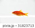 金魚 31823713
