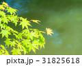 若葉 葉 葉っぱの写真 31825618