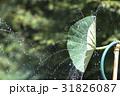 蓮 シャワー 蓮の葉シャワーの写真 31826087