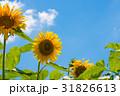ひまわり 青空 晴れの写真 31826613