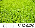 茶 茶畑 茶園の写真 31826820