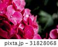 梅雨の時期の紫陽花(あじさい) 31828068