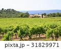 南仏、ワイナリーの葡萄畑 31829971