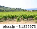 南仏、ワイナリーの葡萄畑 31829973