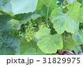 南仏、ワイナリーの葡萄畑 31829975
