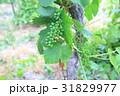 南仏、ワイナリーの葡萄畑 31829977