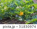 ズッキーニの花 31830974
