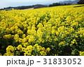 菜の花 黄色 菜の花畑の写真 31833052